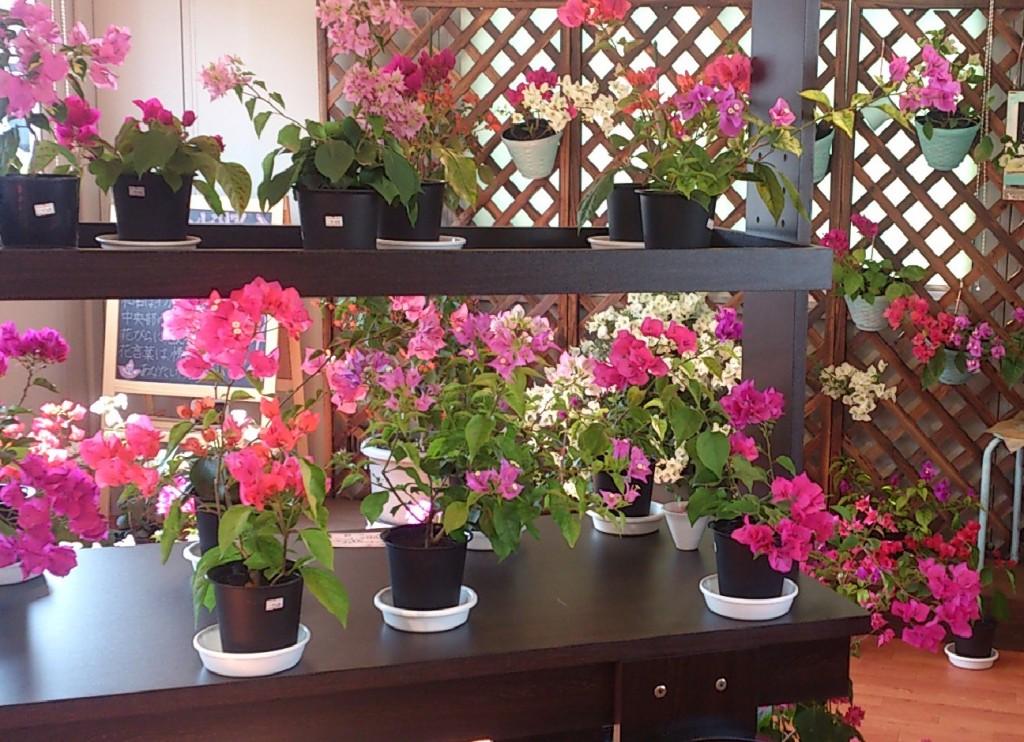 ブーゲンビリア鉢植え販売コーナー